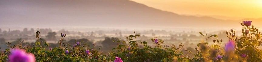 bulgarian-rose-fields-near-kazanlak